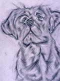 Labrador Retreiver, graphite pencil dog drawing, Susan Calvert